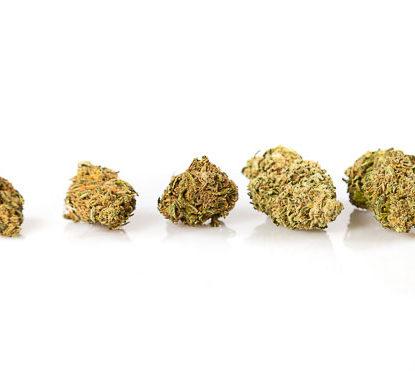 Cogollos Master Kush cannabis legal Cbd Espana