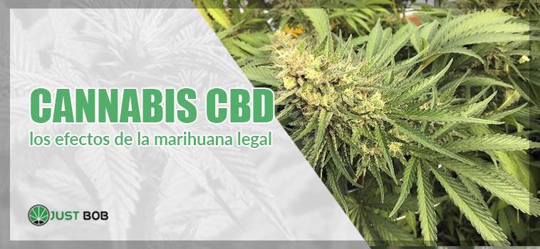 cannabis cbd los efectos della marihuana legal