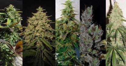 Variedades de Cannabis CBD