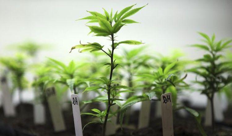 el cultivo de canamo legal
