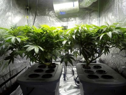 Efecto antiinflamatorio y antioxidante del cannabis light.