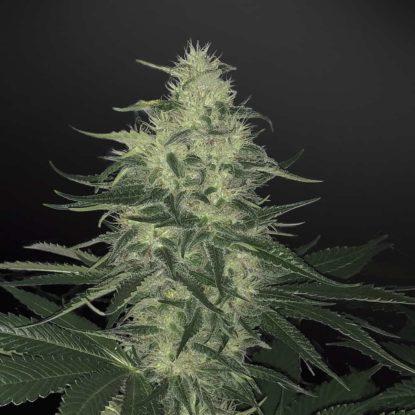 godzilla-glue-semillas-de-marihuana-autoflorecientes