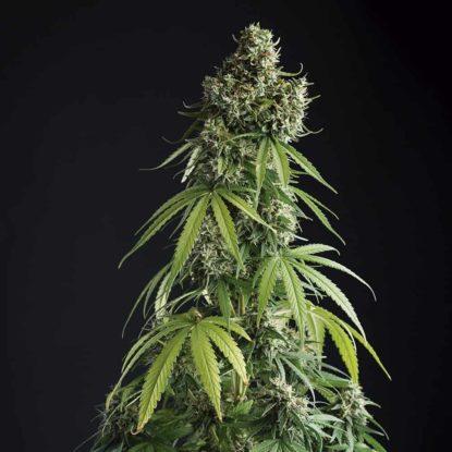 lemon-blossom-semillas-de-marihuana-autoflorecientes