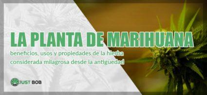 la pianta de marihuana