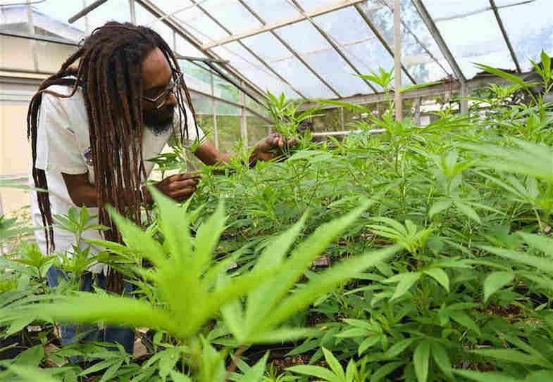 hierba en Jamaica