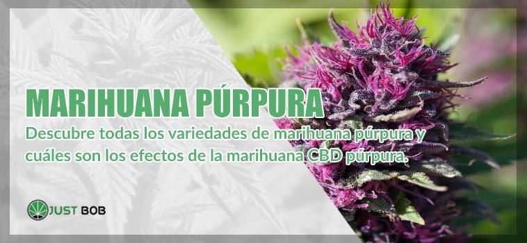 Marihuana cbd púrpura