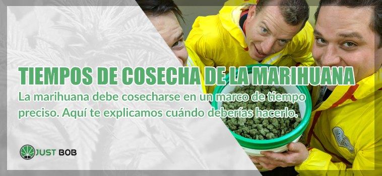 Tiempos de cosecha de la marihuana cbd
