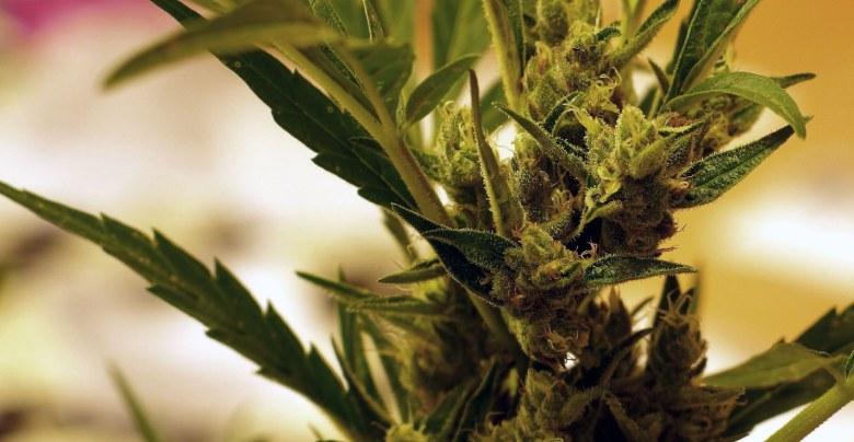 cultivo indoor de bubblegum marihuana cbd