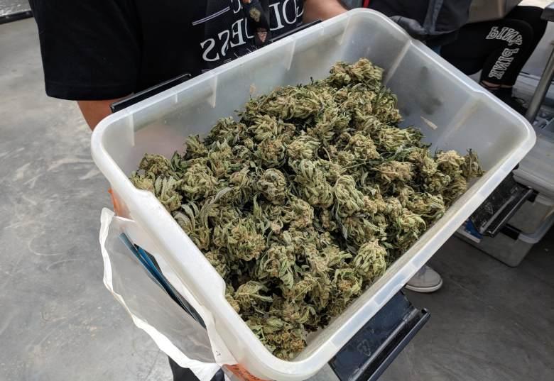 la cosecha de las flores de la amnesia legal de cannabis haze