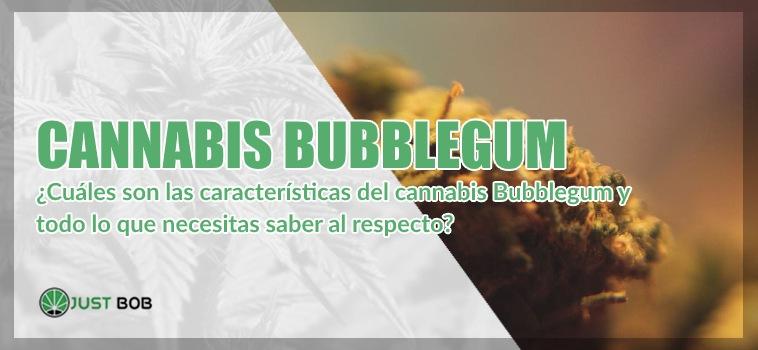 Cannabis CBD Bubblegum: todo lo que necesitas saber