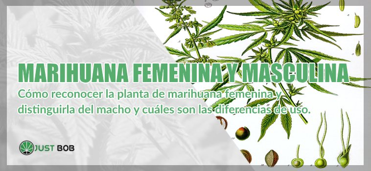 legal Marihuana cbd femenina y masculina