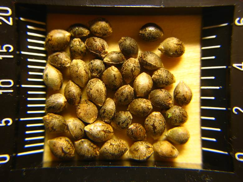 semillas de cannabis Cbd para cultivar