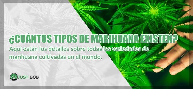 Detalles sobre las variedades de marihuana cbd