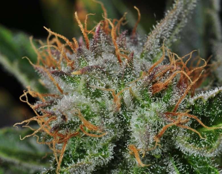 variedad de cannabis cbd amnesia haze