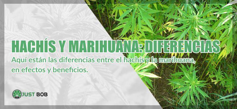 Hachís y marihuana cbd diferencias
