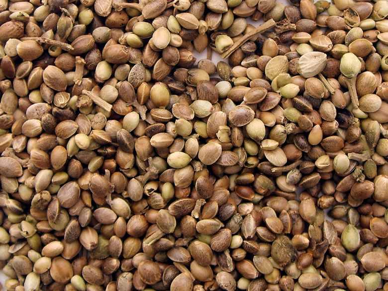 semillas de cannabis indica