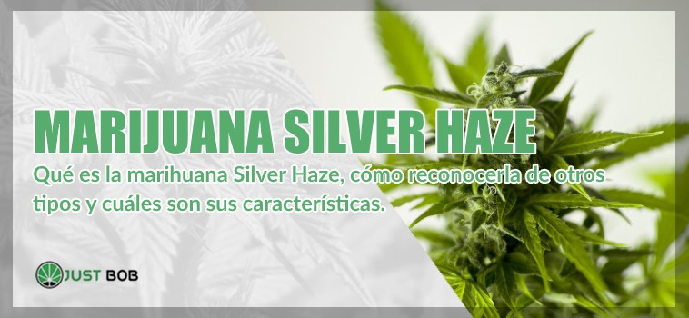 Marijuana legal Silver Haze