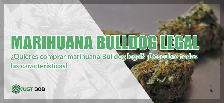 cannabis legal bulldog