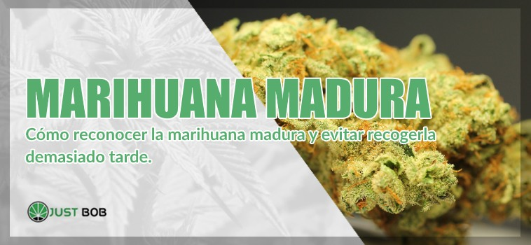 cannabis ligero maduro