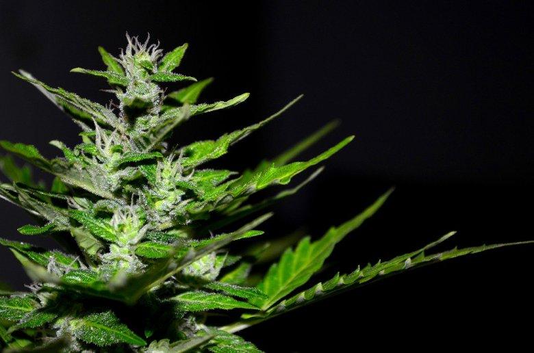 marihuana ligera Silver Haze