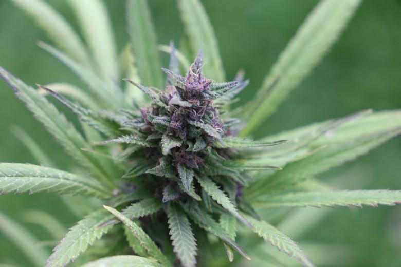 marihuana roja y marihuana legal