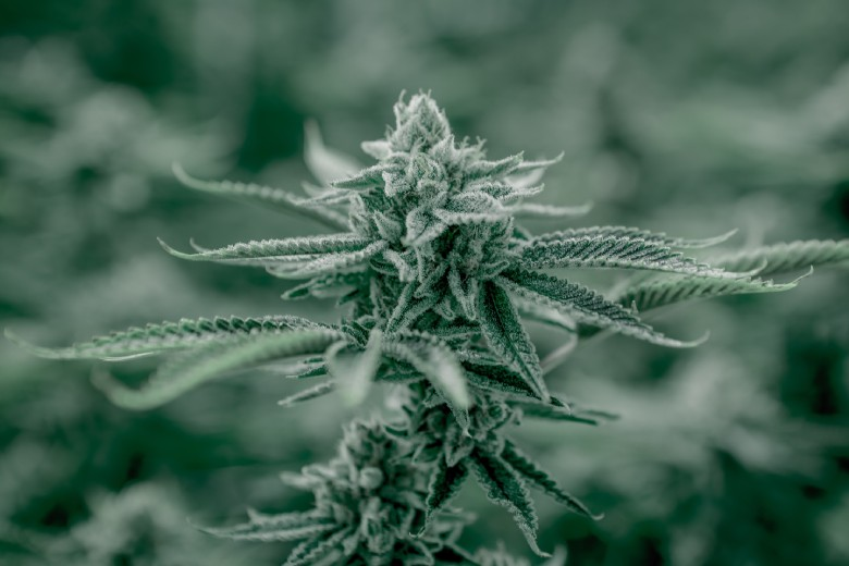 cultivo de cannabis cbd en invierno