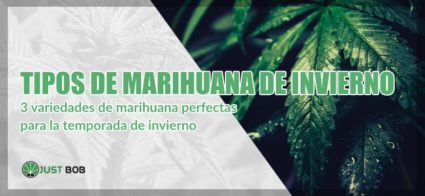 marihuana legal de invierno