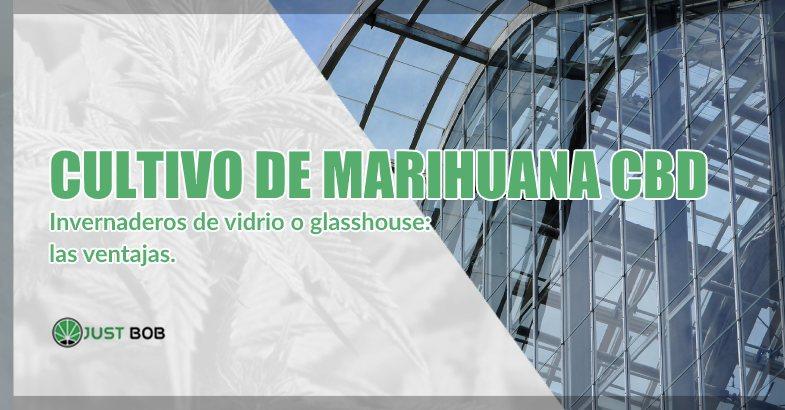Cultivo de marihuana CBD