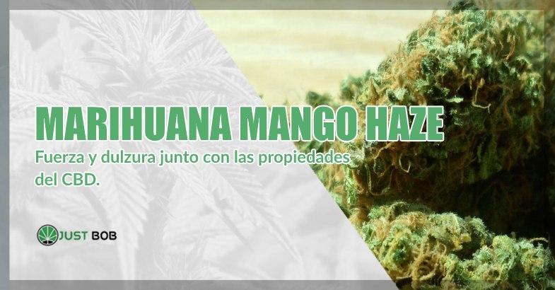 Marihuana sin thc Mango Haze