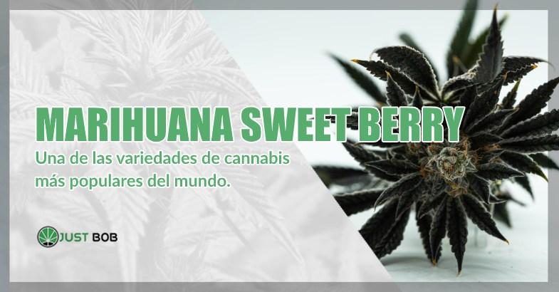 una de las variedades de cannabis más populares del mundo.
