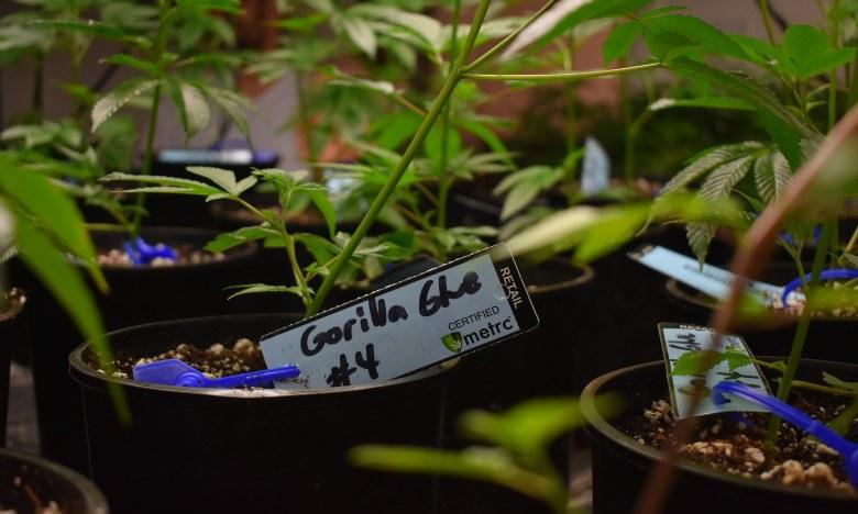 cannabis cbd gorilla glue