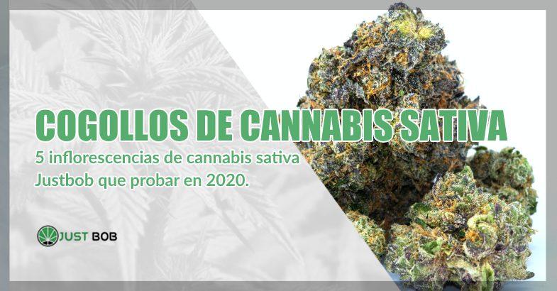 cogollos cbd de Cannabis sativa