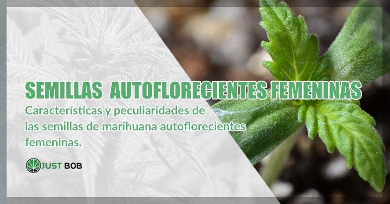 cogollos cbd de semillas de cannabis