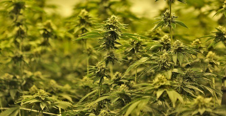 marihuana cbd mango haze