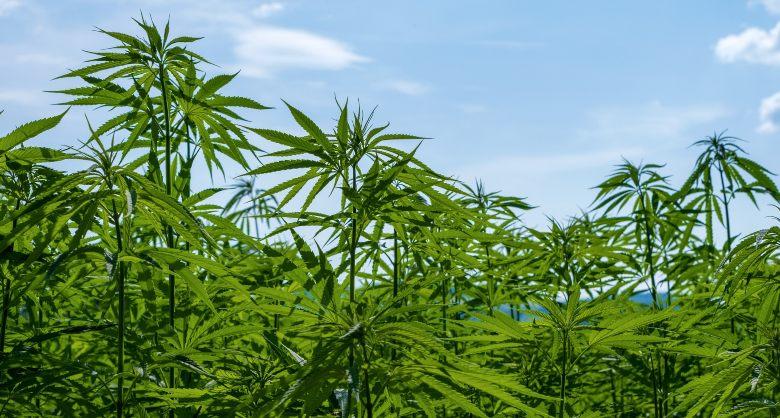 marihuana cbd y hacis charas