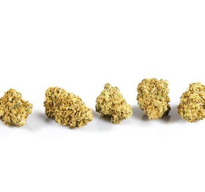 Cogollos de Purple GG#4 marihuana sin thc