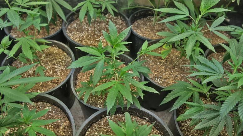 semillas de cáñamo ricas en thc y cbd