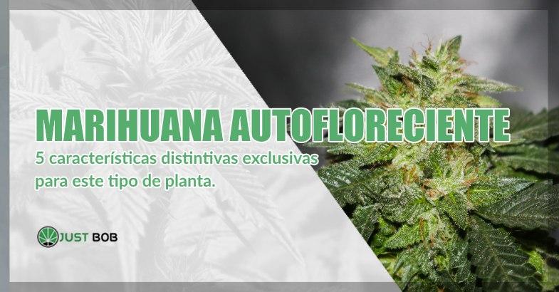 Marihuana cbd autofloreciente