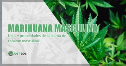 Marihuana cbd masculina