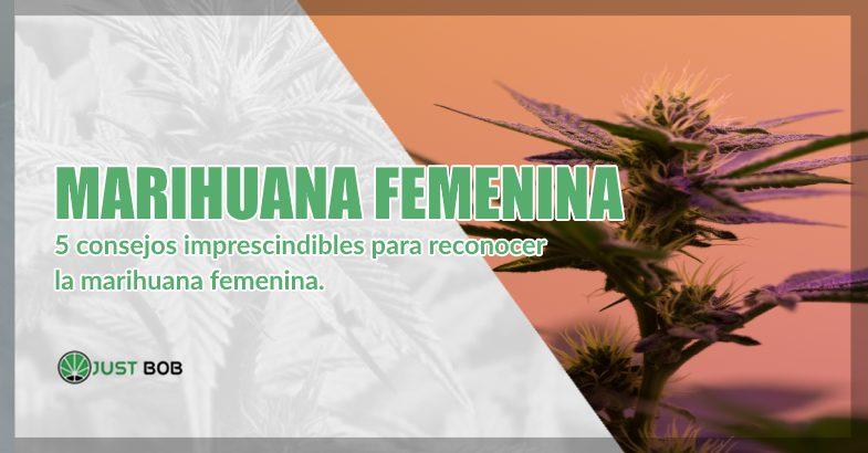 marihuana cbd femenina