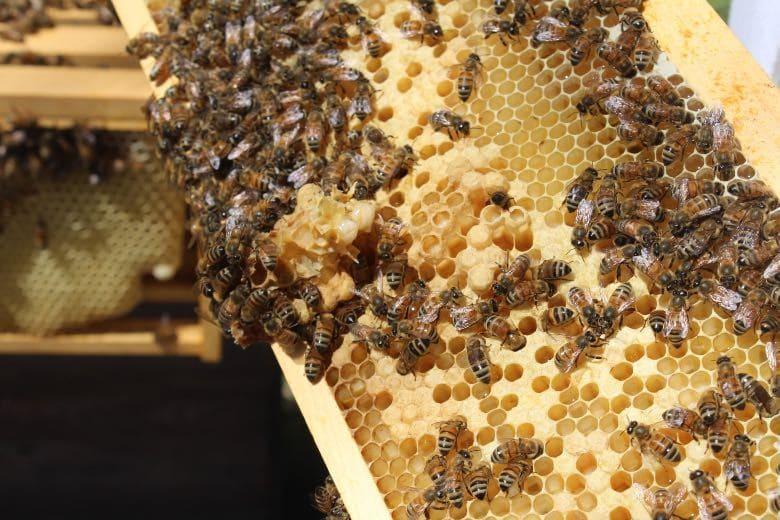 abejas y cannabis cbd
