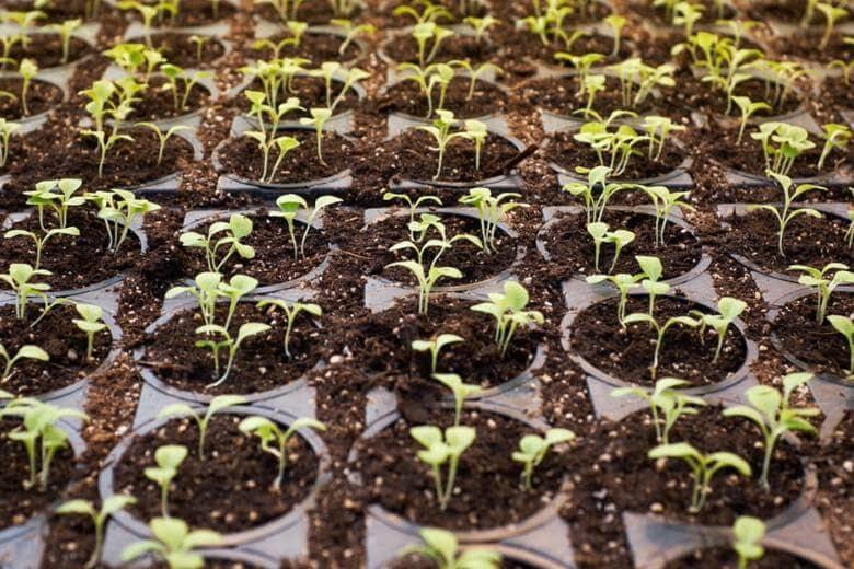 planta de cannabis cbd macho o hembra