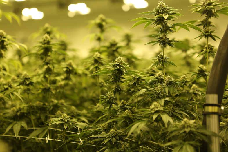 Variedades y efectos del cannabis: la investigación del Dr. Ethan Russo. 2