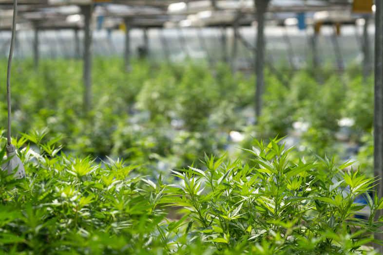 Cultivo de Cannabis CBD