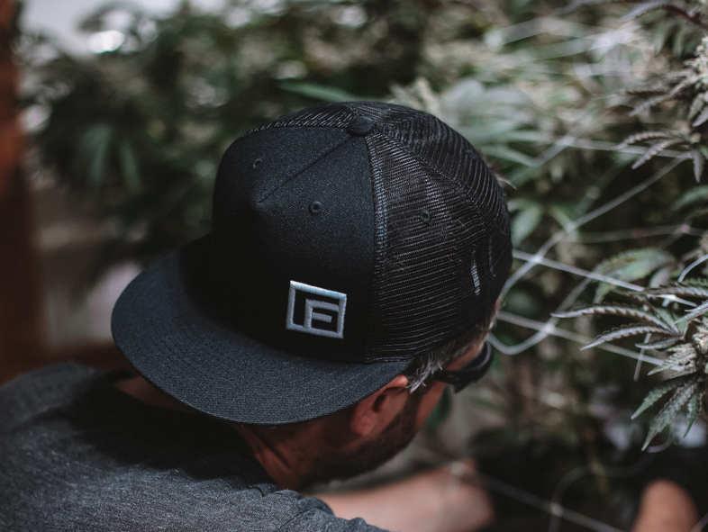 cultivador de cannabis legal CBD