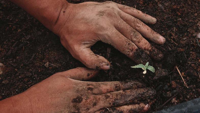 como plantar Marihuana CBD