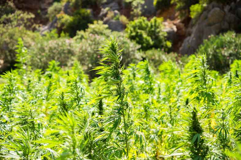¿Es posible cultivar cannabis en Ámsterdam?