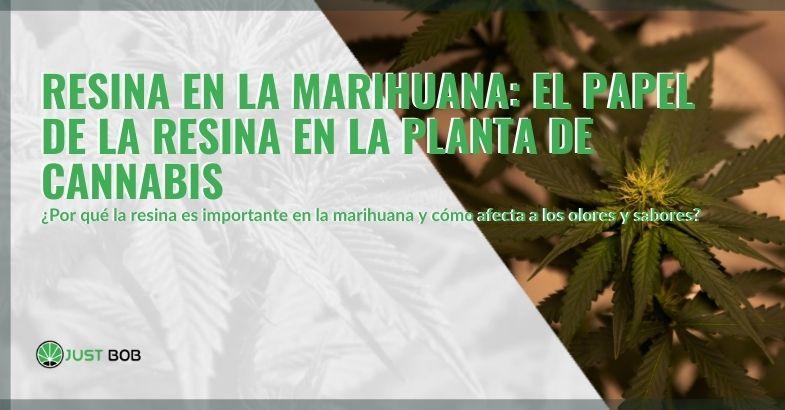 La importancia de la resina en la planta de cannabis