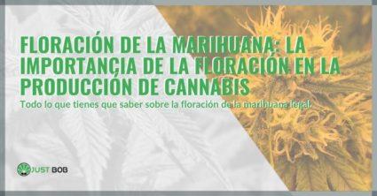 Floración de la marihuana: la importancia de la floración en la producción de cannabis