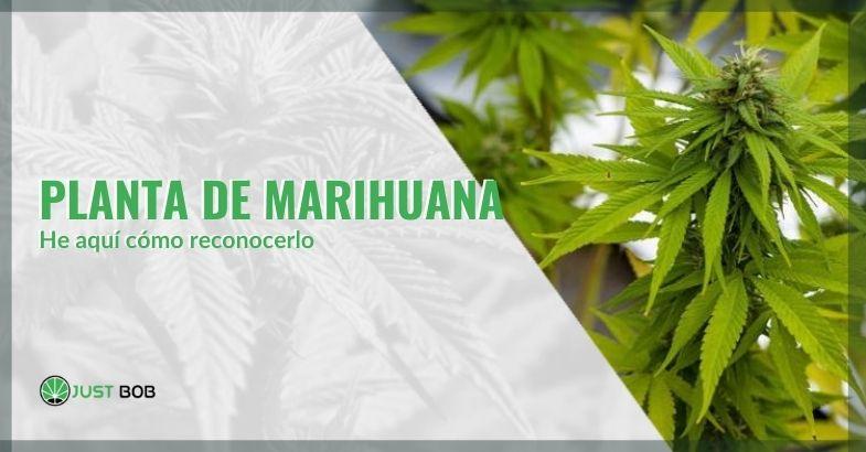 Toda la información para reconocer una planta de marihuana